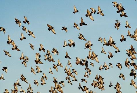 bird flock pigeon wonderful picture